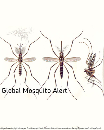 https://ecsa.citizen-science.net/wp-content/uploads/2020/03/aedes_aegypti_e-a-goeldi_1905_for.jpg